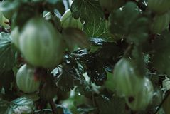 Leaves and berries gooseberry. Fresh green gooseberries on a bra royalty free stock photography