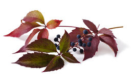 Leaves and berries are a Parthenocissus. Isolated on white background stock image