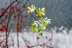 Leaves and berries of wild rose in the background of snow and th royalty free stock photo