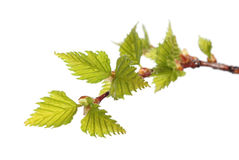 Leaves of birch Royalty Free Stock Images