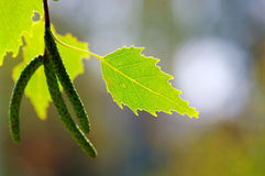 Leaves of birch. Stock Images