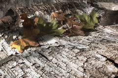 Leaves on birch bark_3 Royalty Free Stock Photography