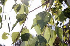 Leaves of birch. A branching tree. Photo for your design royalty free stock images