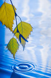 Leaves of birch over the water with ripples from the raindrops Royalty Free Stock Photos
