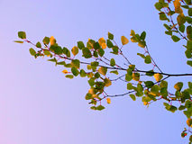 Leaves of birch in summer. Nature season sky blue trees close up Stock Photography