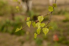Leaves of birch. And sunny day Royalty Free Stock Photography