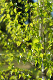 Leaves of a birch tree. Young leaves of a birch tree in late spring royalty free stock photos