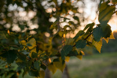 Leaves of birch tree lit thorough by sun shining through summer. Background Stock Images