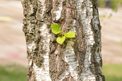 Leaves on Birch Trunk Royalty Free Stock Image