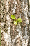 Leaves on Birch Trunk Stock Photography