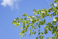 Leaves in a birch. Verdant leaves in a birch in the springtime. Blue sky background Royalty Free Stock Photography