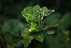Leaves of black currant, damaged aphids. Pests in the garden stock photography