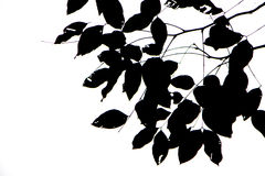 Leaves black silhouettes on white background Stock Images