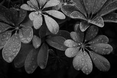 Leaves - Black and White Royalty Free Stock Image