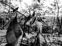 Leaves in black and white. Some leaves photographed in a Brazilian forest Royalty Free Stock Images