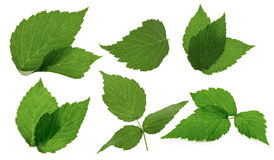 Leaves of blackberry isolated on the white background Royalty Free Stock Image