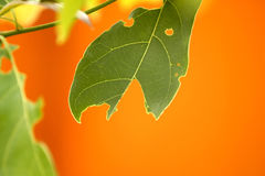 Leaves a blemish on an orange background. Royalty Free Stock Photos