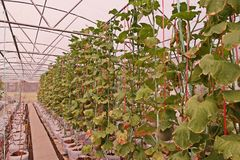 Leaves blight from toxic of over dose of fertilizer of melon in aquaponic planting system. Soiless plant production Stock Photography
