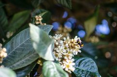 Leaves and flowers of nespolo giapponese Eriobotrya japonica Stock Photography