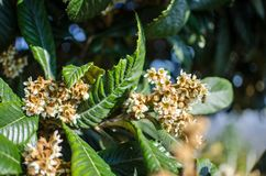Leaves and flowers of nespolo giapponese Eriobotrya japonica Stock Image