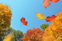 Leaves blowing through an autumn forest. Colorful trees in autumn and fallen leaves blowing on the wind stock image