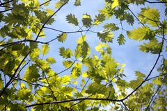 Leaves on blue sky. Leaves and branches on blue sky. Nature background royalty free stock images