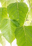 Leaves of Bodhi Tree Stock Photography