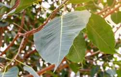Leaves bodhi tree stock images