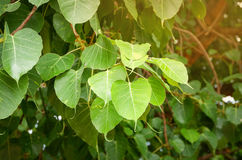 Leaves bodhi tree royalty free stock image