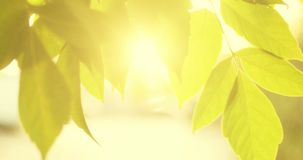 Leaves border and sunflares. Backlit shot of tree leaves moving in the wind slow stock footage