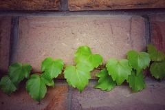 Leaves. Boston ivies crawl along the wall Stock Photos