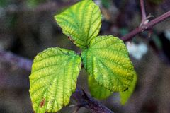 Leaves. Of brambles in details with vein Stock Images