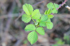 Leaves of brambles Stock Photography