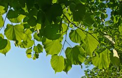 Leaves branch Stock Photography