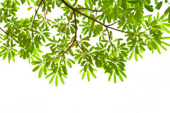 Leaves of a branch background Royalty Free Stock Photography