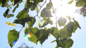 Leaves on branch, clear blue sky, sun shining stock video footage