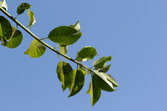 Leaves on a branch. Green leaves on a branch on a blue background Royalty Free Stock Photos