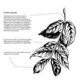 Leaves on the branch of highly detailed hand drawn Stock Image