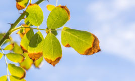 Leaves  on a branch opaque in the sunlight Royalty Free Stock Images