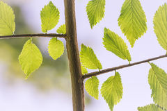 Leaves on a branch. A perfect tree twig full of fresh green leaves. Nature is growing Royalty Free Stock Image