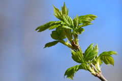 Leaves branch spring shoots Royalty Free Stock Photos