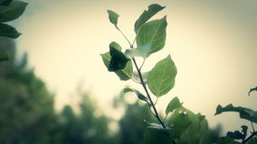 Leaves on a branch swaying wind stock video footage