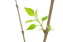 Leaves and branches Royalty Free Stock Image