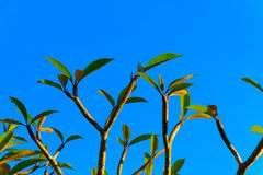 Leaves and branches Royalty Free Stock Photo