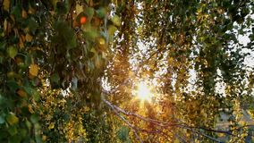 The leaves and branches of a birch blowing in the wind stock video footage