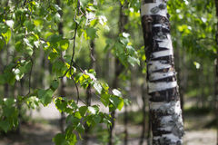 Leaves and branches of a birch. The hanging-down birch branches Stock Images