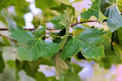 Leaves, Branches, Canopy Royalty Free Stock Photo