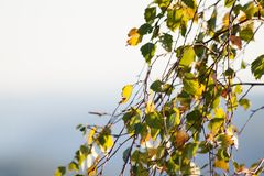 Leaves on branches Royalty Free Stock Photos