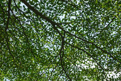 Leaves and branches. Look up to spread tree branches in the park Royalty Free Stock Photography