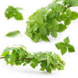 Leaves and branches of nettle on a white background Royalty Free Stock Images